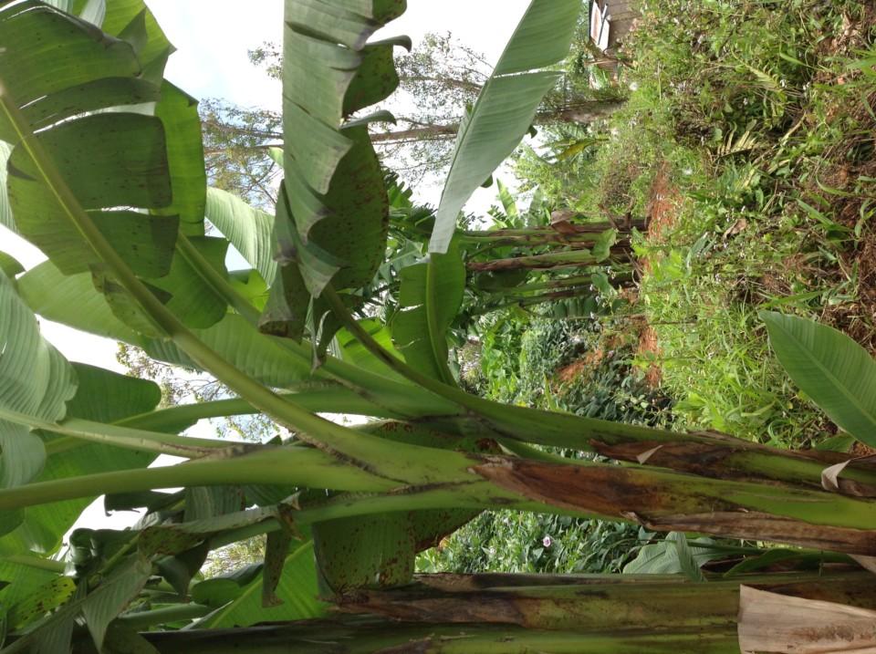 arbre abaca
